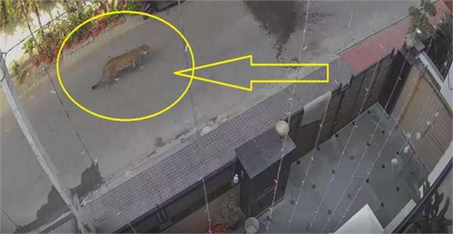 leopard spotted on street in ghaziabad video goes viral