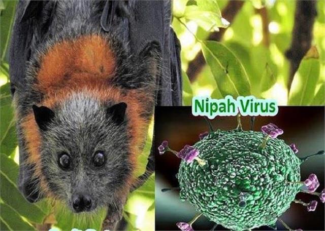 चमगादड़ से इंसानों में कैसे फैला Nipah Virus? वैज्ञानिकों ने किया खुलासा