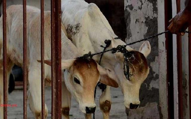police arrested meat truck carrying cow slaughter