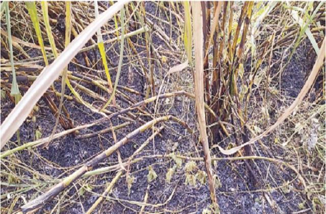 sugarcane crop burnt by short circuit