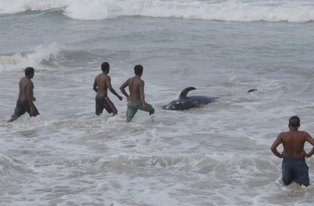120 whales stranded in beach navy saved