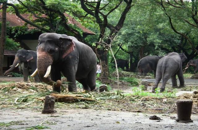 world largest elephant care center in kerala