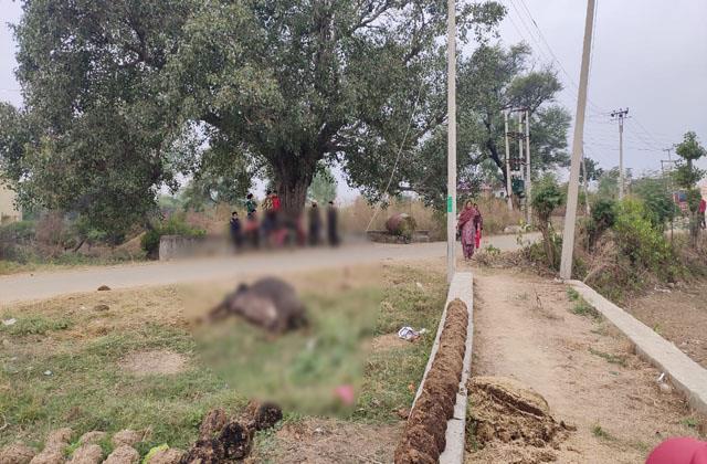 buffalo killed by shortcircut in ramgarh