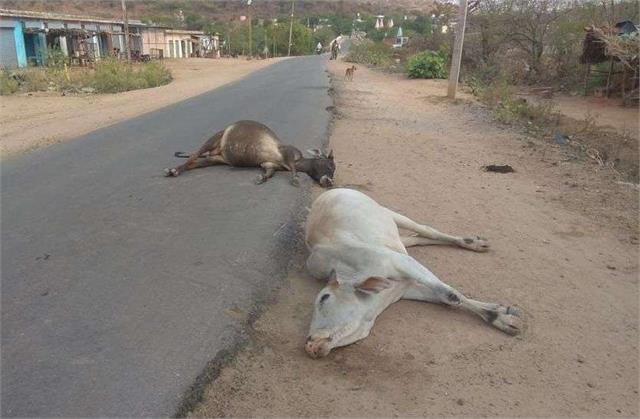 big negligence 4 cows died after drinking poisonous medicine