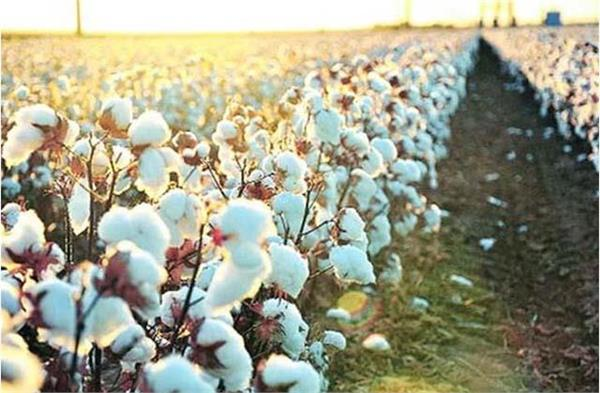cotton arrivals in the country reached 1 64 lakh bales