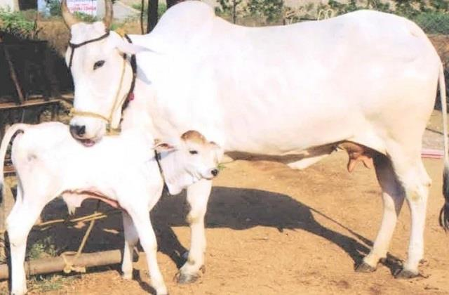 now cows will give birth only to calves