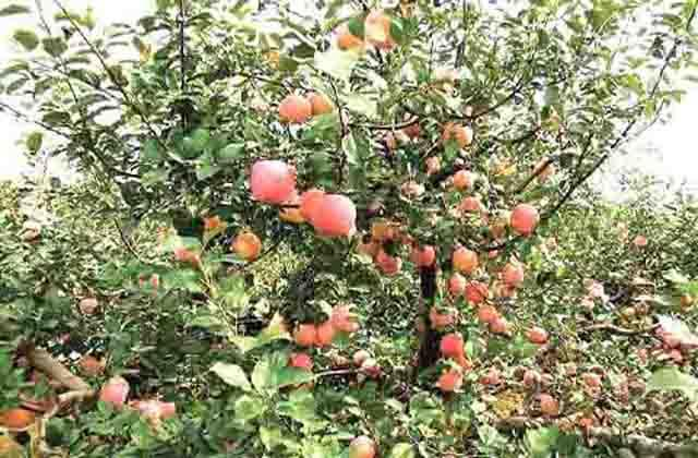 horticulture sector is proving to be a boon for jammu and kashmir economy