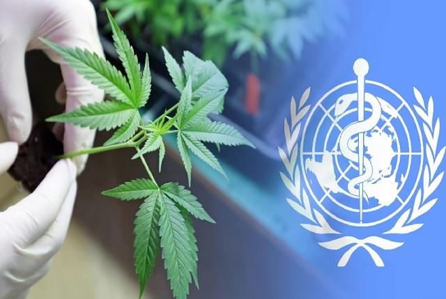 united nations removes marijuana from most strict global drug category