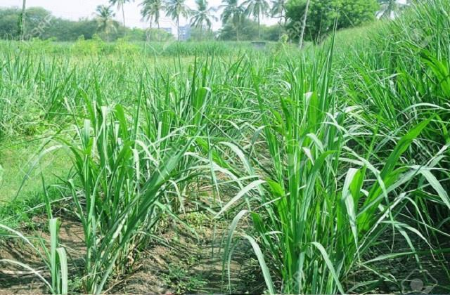 scientists made sanitizer from guinea grass