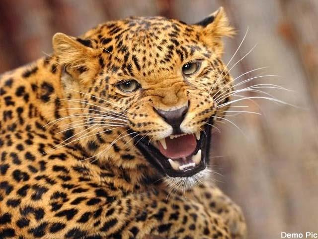leopard attack on security guard