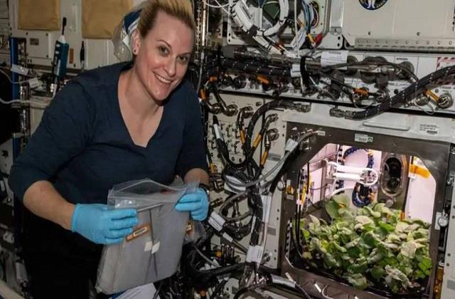 nasa harvests radish crop for the first time in space