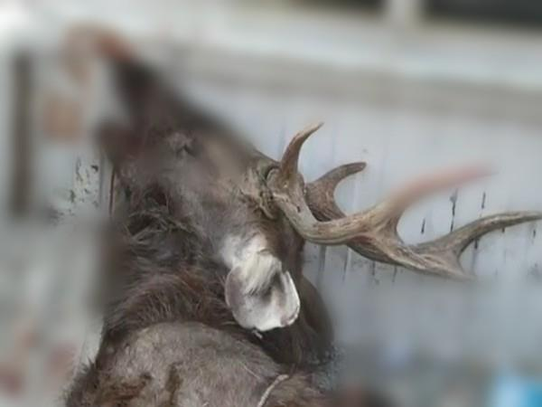 there was a stir after the reindeer s body was found in kullu