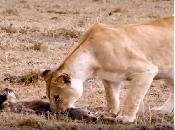 a lion who came to hunt a clever fox saved his life
