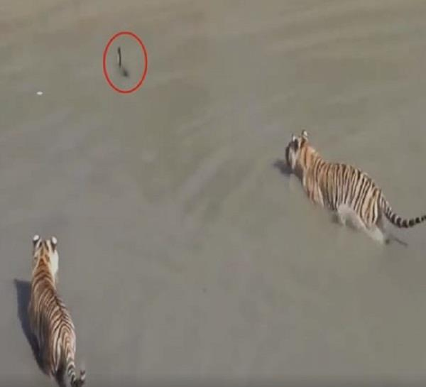 brave duck plays with tigers in the lake video viral