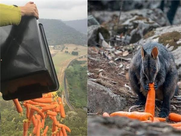 australia is helping wallabies escaping bushfires by dropping vegies