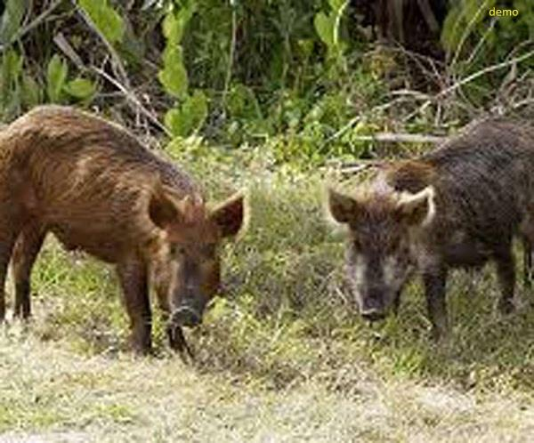 sugarcane farmers troubled by wild boar terror
