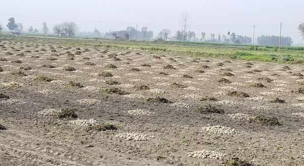 increase in potato prices