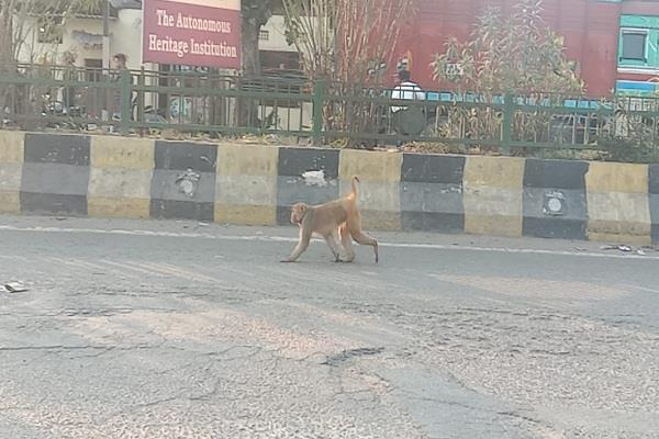 monkey created a violence on pathankot bypass