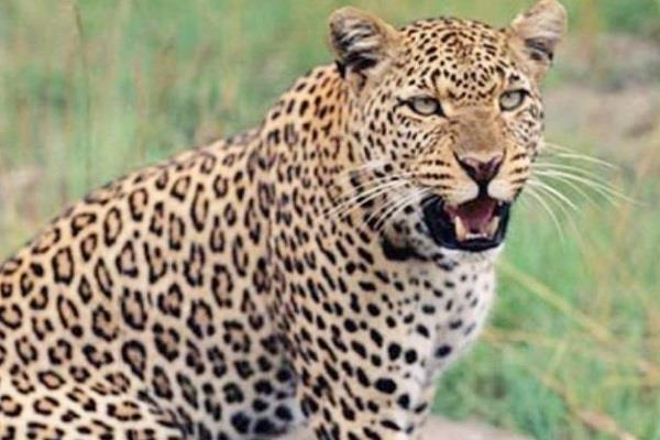 leopard hunting innocent sleeping with mother and father in farm dies