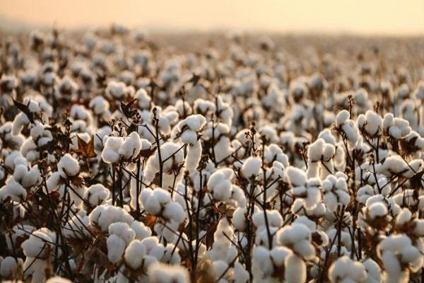 corona virus reduces the possibility of cotton prices rising