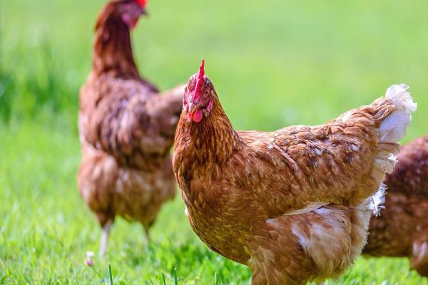 corona gets 70 cheaper chicken in india sales halved