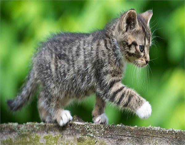 बिल्ली अगर काट जाए रास्ता! जानिए क्या कहते हैं शास्त्र?