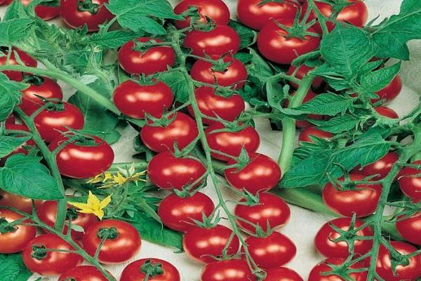 this special tomato can make farmers rich