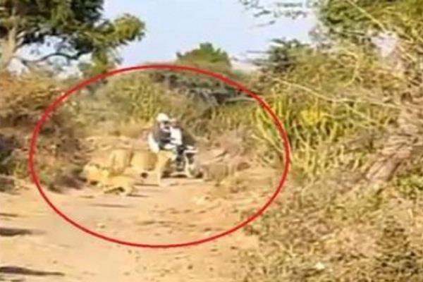 social media gujarat lioness video viral