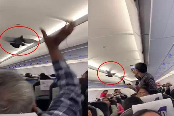 pigeon flies inside goair plane