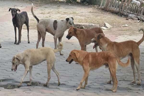 deputy commissioner s wife bitten by stray dogs
