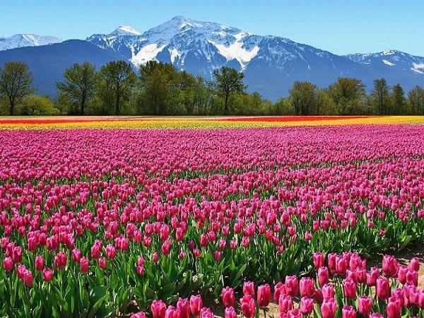 Flower Mela: दुनियाभर में फेमस है कश्मीर का ट्यूलिप फेस्टिवल, जरूर जाएं घूमने