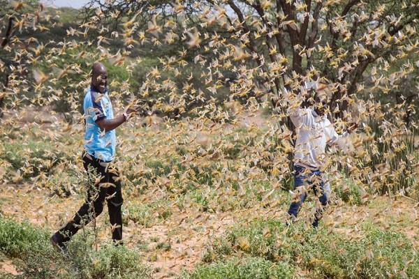 somalia declares national emergency on grasshopper attack