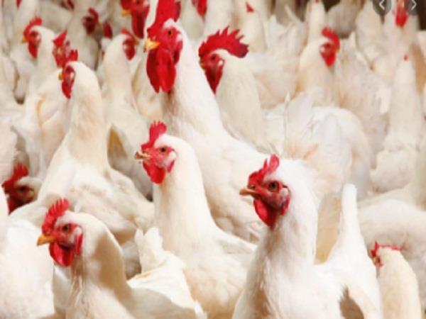 corona effect on poultry farm
