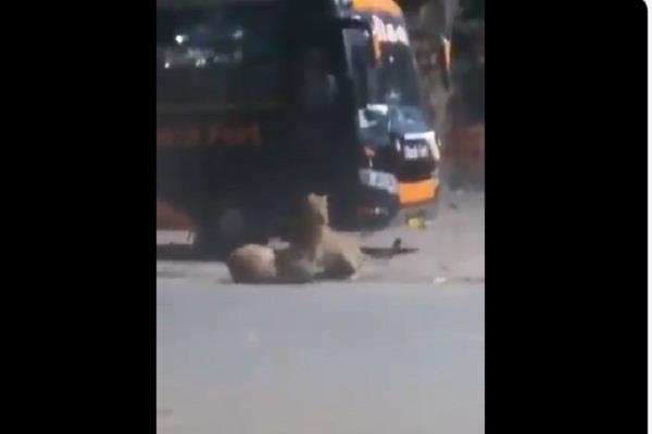 lion set out on gujarat roads