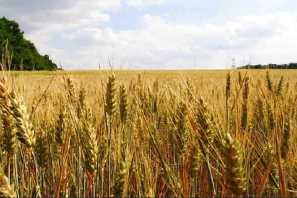 farmers and jobbers are worried about the wheat crop