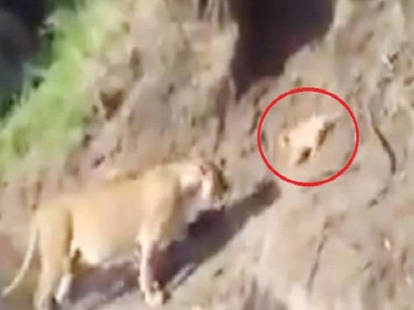 forest lioness helps cub cross narrow stream video goes viral