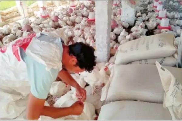 poultry became a disaster livelihood made for farmers