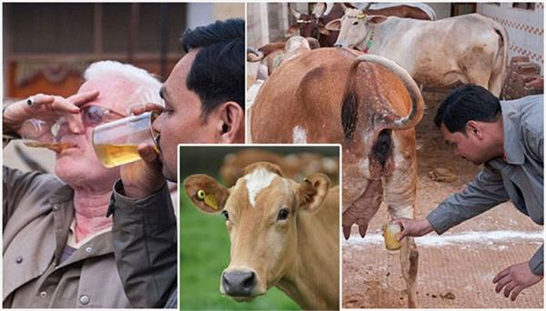 corona virus india cow urine gomutra health benefits