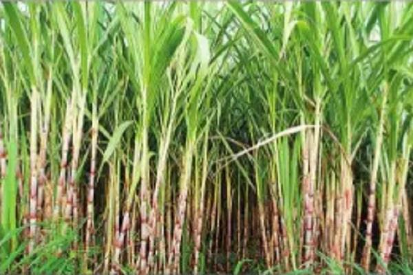 sugarcane farmers support 169 crore in lockdown
