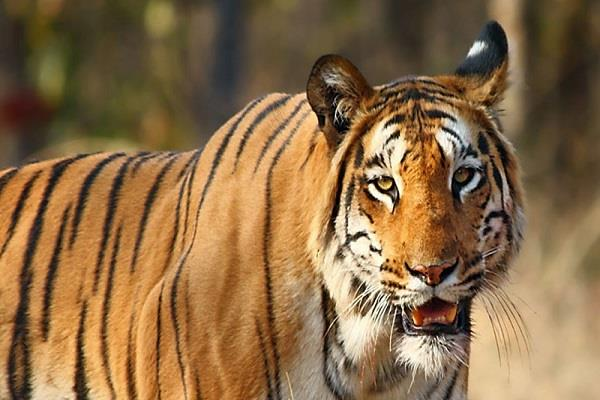 tragic accident tiger kill victim seoni incident trigger outrage villagers