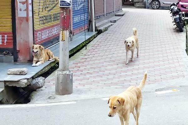 stray dogs attack on child girl in kullu