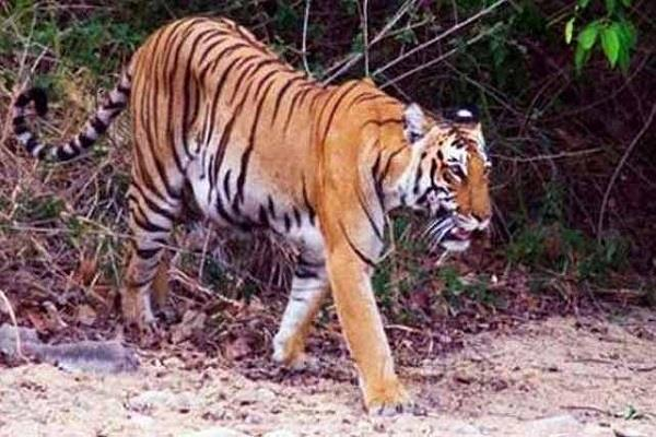 n pilibhit tiger made two farmers morsel