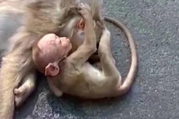 nineteen monkeys died in sambhal in eight days