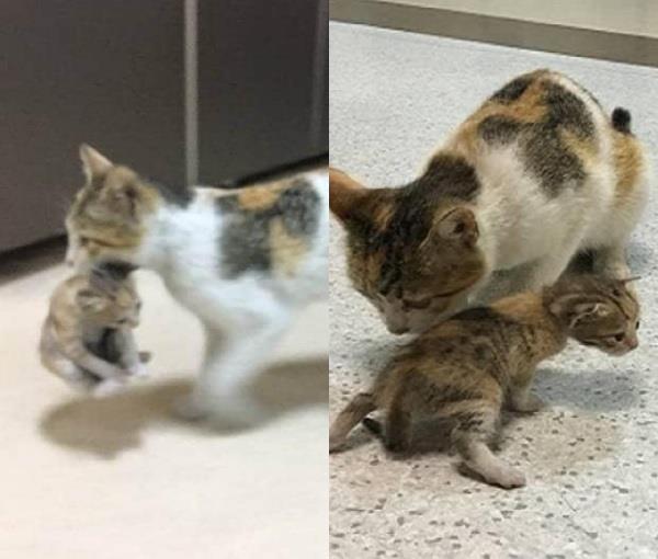मां की ममता, बीमार बच्चे को जबड़े में पकड़ अस्पताल पहुंची बिल्ली
