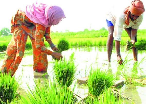 farmers worry about paddy sowing prices double