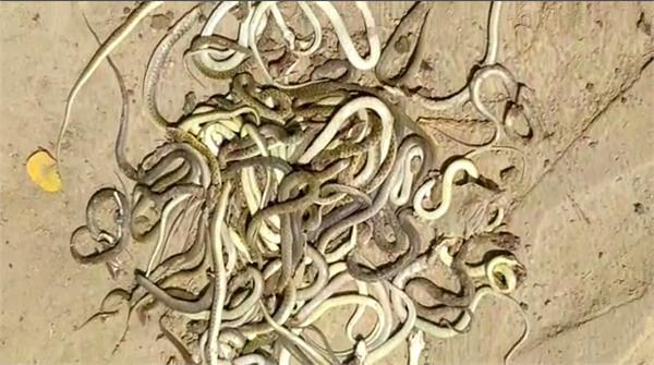 hundreds of snakes stampede started in a field in gorakhpur