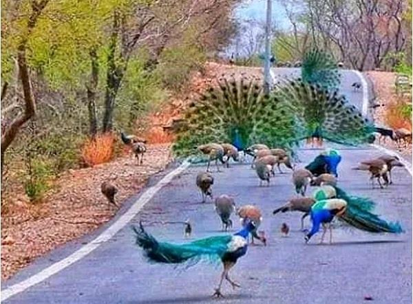 traffic jam has become so peacock gathered on the road