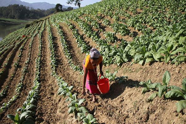 local enterprises farmers should be kept in mind while framing tobacco