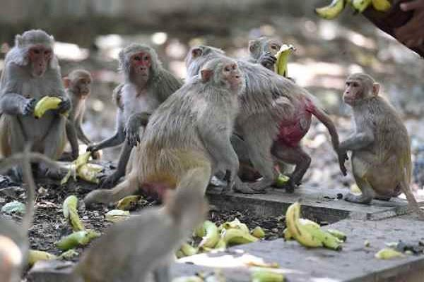91 monkeys will be killed in tehsils government issued notification