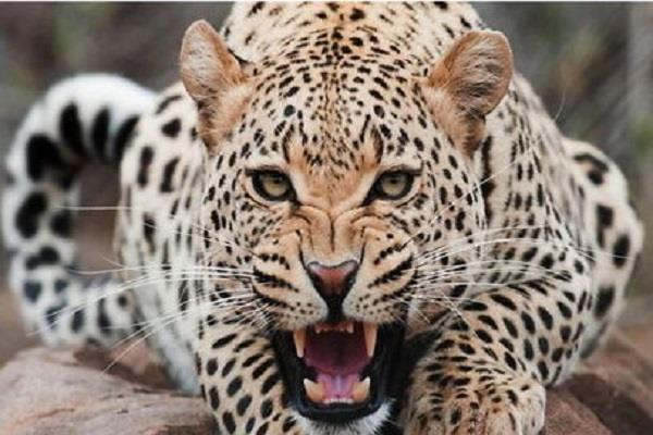leopard panic spread among thousands amid lockdown